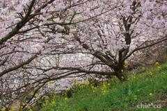 春めき桜-176
