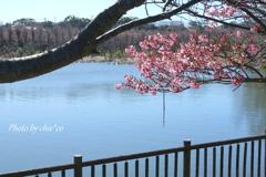 三浦海岸の河津桜-134