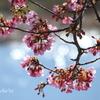 三浦海岸の河津桜-131