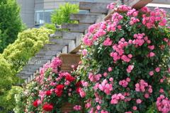 横浜 Rose Week-256
