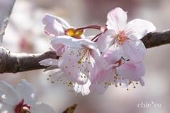 春めき桜-155