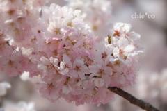 春めき桜-168