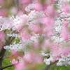 花海棠と白い桜。。