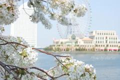 横浜*桜さんぽ-228