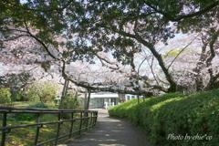 横浜*桜さんぽ-216