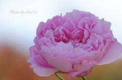 冬の薔薇。。5
