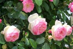 横浜 Rose Week-257