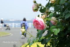 横浜 Rose Week-266