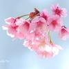 横浜関内の早咲き桜-144