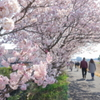 春めき桜-135