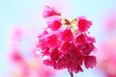 横浜関内の早咲き桜-128