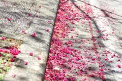 横浜関内の早咲き桜-135