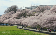 春めき桜-182