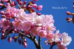 三浦海岸の河津桜-118
