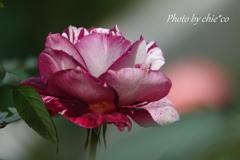 ジュリオ イグレシアス ~花菜ガーデン-405