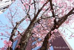 横浜関内の早咲き桜-125