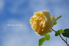 冬の薔薇。。