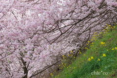 春めき桜-177