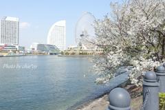 横浜*桜さんぽ-232
