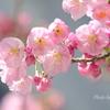 横浜関内の早咲き桜-119