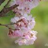春めき桜-145