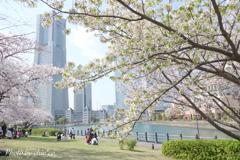 横浜*桜さんぽ-254