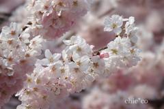 春めき桜-171
