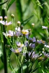 紫苑(しおん)。。