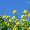 菜の花と青空。。