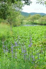 サワギキョウが咲く池。。
