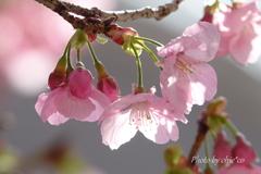 横浜関内の早咲き桜-124