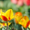 横浜関内の早咲き桜-150