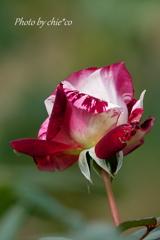 ジュリオ イグレシアス ~花菜ガーデン-399
