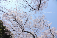 横浜*桜さんぽ-222