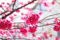 横浜関内の早咲き桜-131