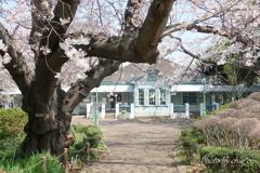 横浜*桜さんぽ-214