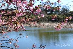 三浦海岸の河津桜-128