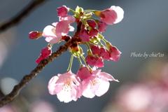 横浜関内の早咲き桜-122