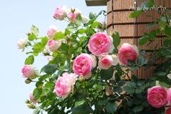 横浜 Rose Week-265
