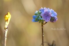 冬の紫陽花。。1