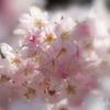 春めき桜-143