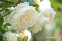 横浜 Rose Week-254