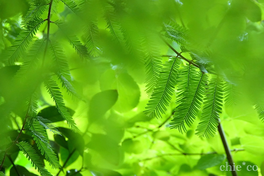 メタセコイアの葉。。