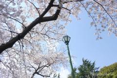 横浜*桜さんぽ-224