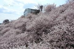 春めき桜-179