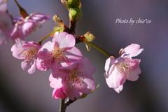 三浦海岸の河津桜-127
