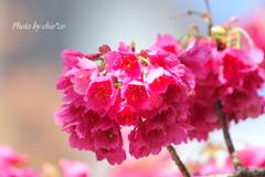 横浜関内の早咲き桜-129