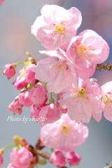 横浜関内の早咲き桜-120