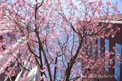 横浜関内の早咲き桜-126
