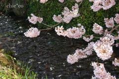 春めき桜-166